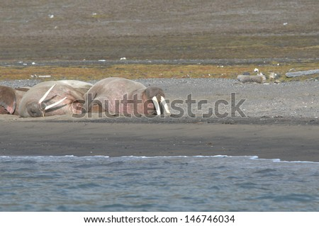Arctic Walrus on the shore - stock photo