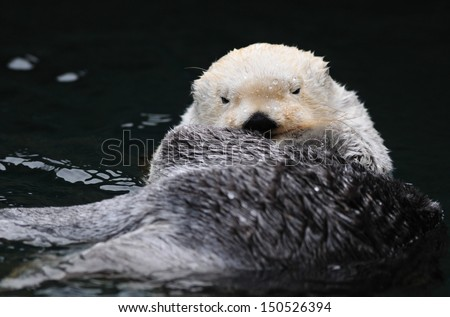 Arctic white sea otter resting in the water - stock photo