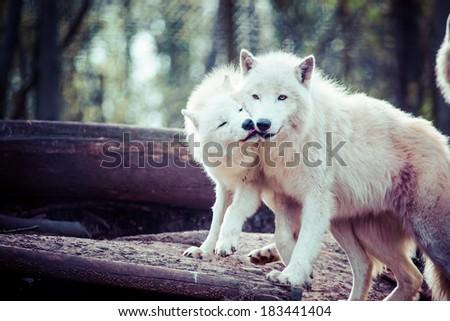 Arctic white wolf  - stock photo