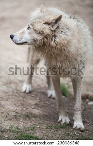 Arctic Wolf (Canis lupus arctos) aka Polar Wolf or White Wolf - Close-up portrait of this beautiful predator - stock photo