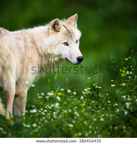 Arctic Wolf (Canis lupus arctos) aka Polar Wolf or White Wolf - Close-up portrait of this beautiful predator against lovely green grass - stock photo