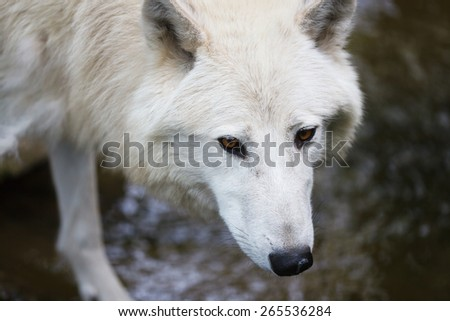 Arctic wolf close-up in the Berlin Zoo - stock photo