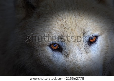 Arctic wolf eyes very close up - stock photo