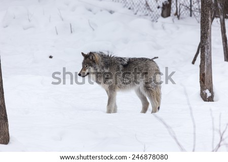 Arctic Wolf in the winter - stock photo