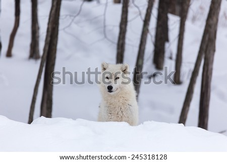 Arctic Wolf in winter - stock photo
