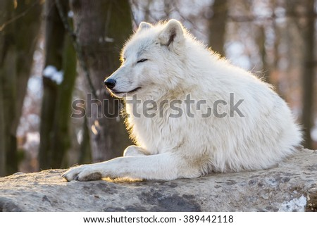 Arctic wolf lying in the glow of sunset - stock photo