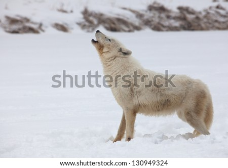 Arctic wolf profile as she howls in the winter snow - stock photo