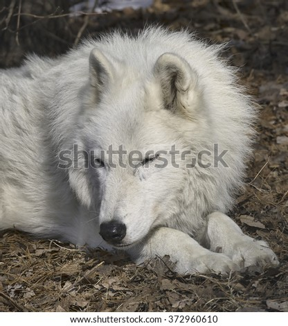 Arctic Wolf Sleeping