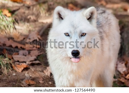 Arctic Wolf Sticking his Tongue Out at the Camera - stock photo