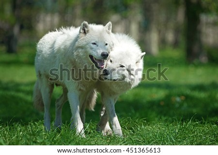 Arctic wolves (Canis lupus arctos) walking in grass putting their heads together