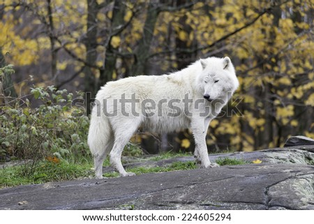 Arctic Wolves (Wolf) - stock photo