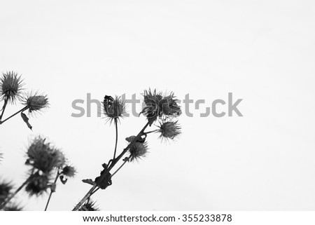 Arctium Lappa black and white - stock photo