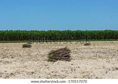 Area planted to cassava - stock photo