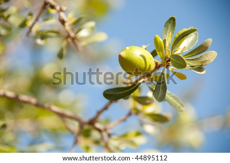 Argan nut - stock photo
