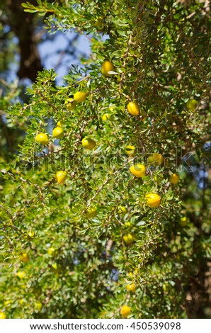Argan tree with little yellow fruits