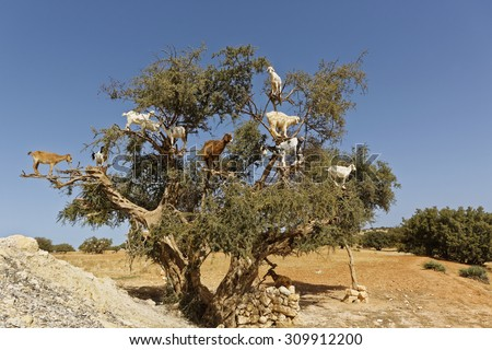 Argan trees and the goats on the way between Marrakesh and Essaouira in Morocco.Argan Oil is produced by using the seeds of the trees,and the oil is used for  cosmetics,beauty products and skin care - stock photo