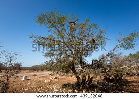 Argan trees and the goats on the way between Marrakesh and Essaouira in Morocco. Argan Oil is produced by using the seeds of the trees and the oil is used for cosmetics, beauty products and skin care - stock photo