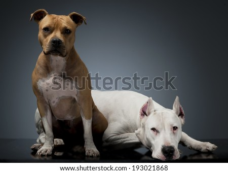 Argentin Dog and Staffordshire Terrier on the floor - stock photo