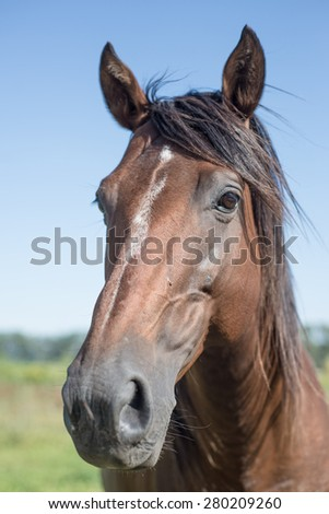 Argentina Countryside Polo animal special horse. - stock photo