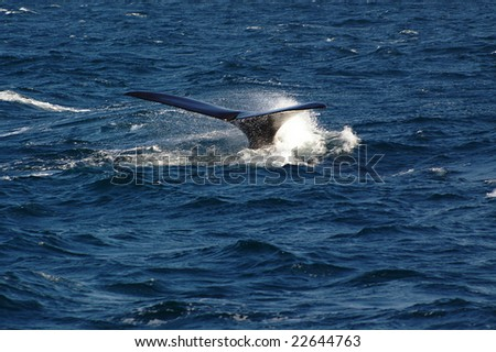 ARGENTINA, PATAGONIA, MADRYN, JULY 29:Tail of Whale showing