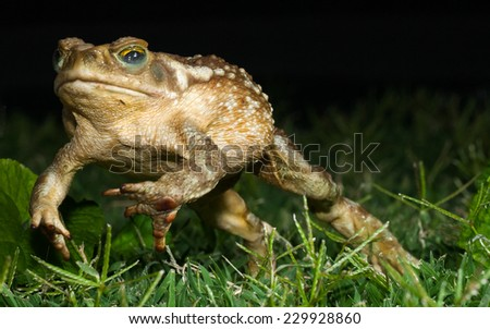 Argentine Toad (Chaunus arenarum) jumping at night through the grass. Patagonia, Argentina, South America. - stock photo