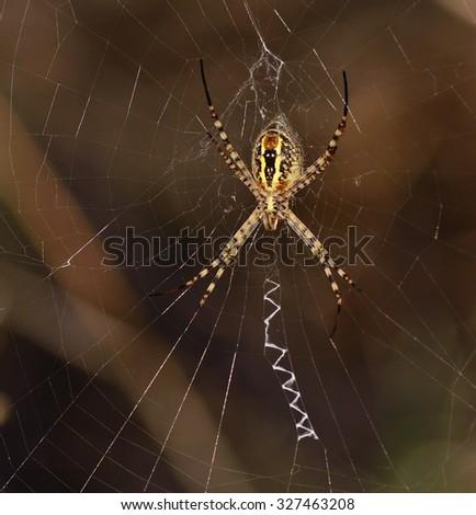 Argiope amidst cobweb - stock photo