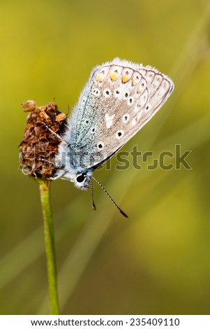Argus butterfly (Polyommatus icarus) on a single flower, with a fresh green background.