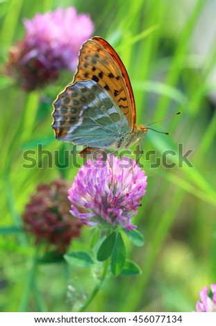 Argynnis paphia. A butterfly on a clover flower - stock photo