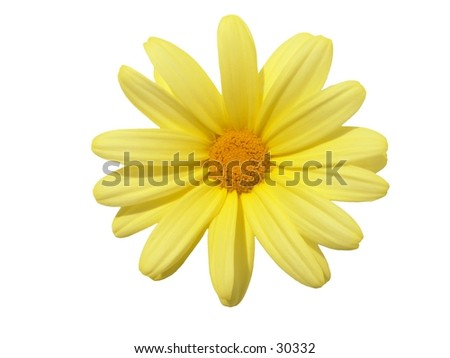 Argyranthemum frutescens 'Butterfly' - stock photo