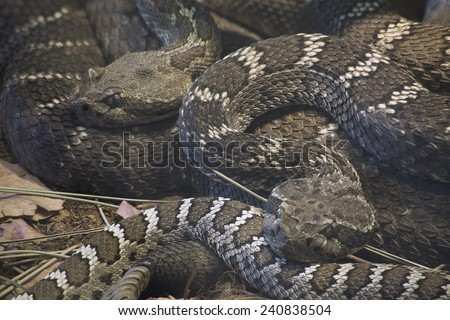 Arizona Black Rattlesnake, Crotalus Oreganus Cerberus - stock photo