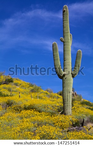 Arizona Desert Spring Wildflowers