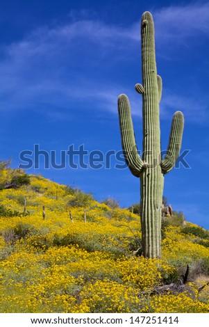 Arizona Desert Spring Wildflowers  - stock photo