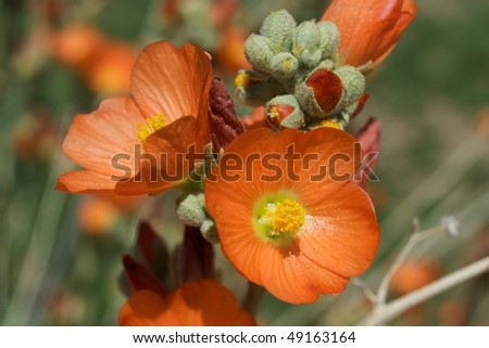 Arizona spring wildflowers; an orange globe mallow