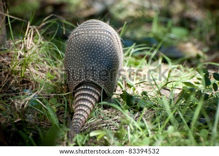 Armadillo near Everglades
