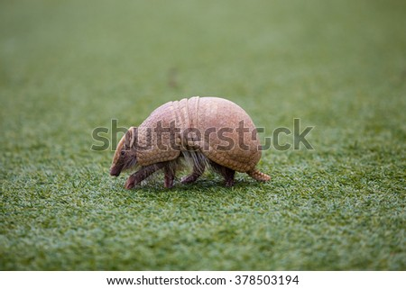 Armadillo on turf grass waling around looking for food. - stock photo