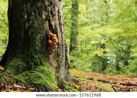 Armillaria mellea  - stock photo
