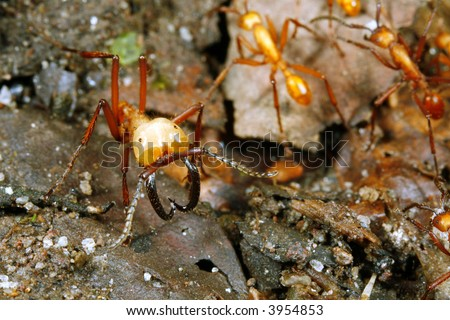 Army ant soldier guarding a trail of workers