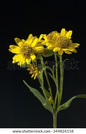 Arnica chamissonis; meadow arnica - stock photo