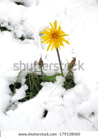 Arnica in the snow - stock photo
