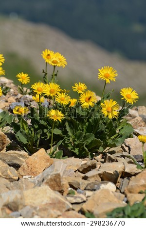 Arnica montana (doronicum grandiflorum) found in the Swiss alps. - stock photo