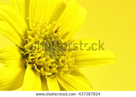 arnica montana flower head against yellow background - stock photo