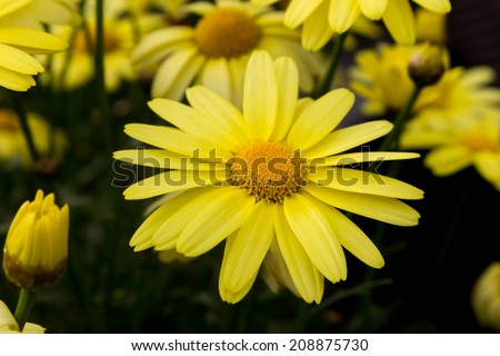 Arnica montana flowers, European flowering plant used in herbal medicine - stock photo