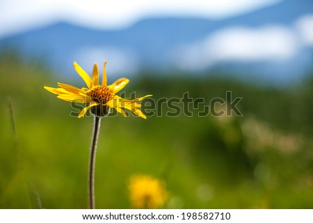 Arnica montana in carpathian mountain. - stock photo
