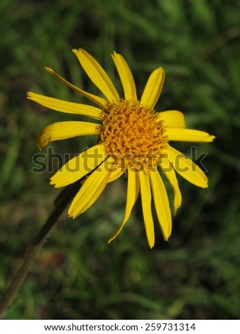 Arnica montana, rare wildflower - stock photo