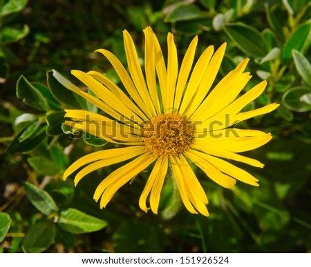 Arnica montana yellow mountain flower - stock photo