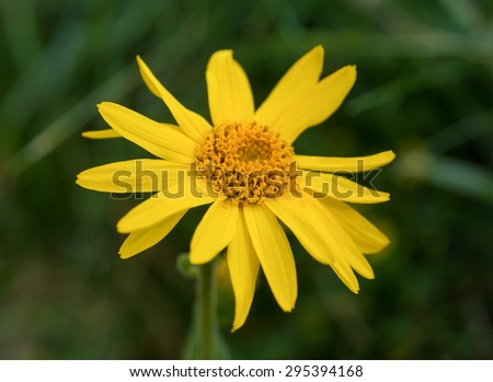 Arnica montana, yellow wild  mountain flower - stock photo