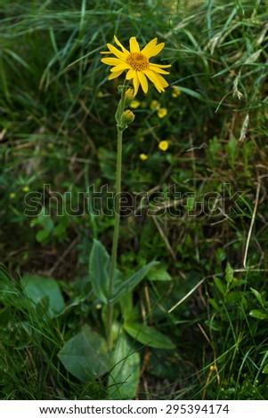 Arnica montana, yellow wild  mountain flower - stock photo