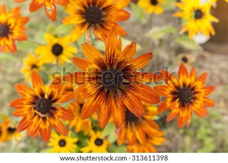 arnica orange flowers - stock photo