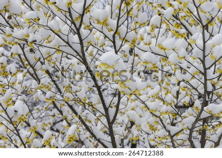 Arnold Promise tree yellow flowers first spring flowers under the snow - stock photo