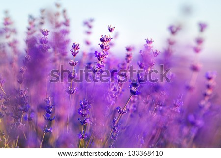 Aromatherapy lavender flowers - Sunset over a summer purple lavender field . Bunch of scented flowers in the lavanda fields of the French Provence near Valensole - stock photo
